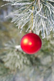 Christmas-tree decoration on a pine. Tree covered with hoarfrost Royalty Free Stock Images