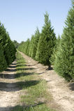 Christmas Tree Farm. Rows of Christmas trees in Christmas tree farm stock photo