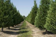 Christmas Tree Farm. Rows of Christmas trees in Christmas tree farm royalty free stock image