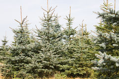 Christmas Tree Farm Stock Images