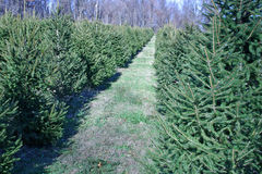 Christmas Tree Farm. A Christmas Tree farm in the country stock photography