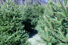 Christmas Tree Farm. A Christmas Tree farm in the country stock images