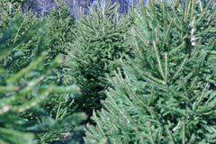 Christmas Tree Farm. A Christmas Tree farm in the country stock image