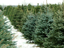 Christmas tree farm. A Christmas tree farm royalty free stock photos