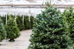 Christmas tree farm Royalty Free Stock Image