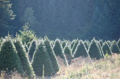 Christmas Tree Farm in Oregon`s Willamette Valley. A Christmas Tree farm highlighted by the afternoon sun in Oregon`s Willamette Valley stock photos