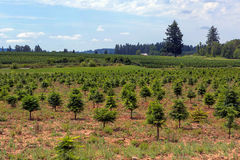 Christmas Tree Farm in Oregon Royalty Free Stock Photography