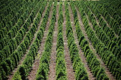 Christmas Tree Farm. Rows of trees to be sold for Christmas growing on a hillside Royalty Free Stock Photography