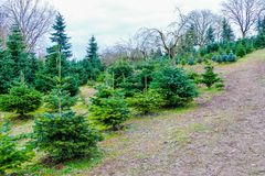 Christmas Tree Farm Sale stock photo