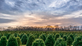 Christmas Tree Farm at sunset Stock Photo