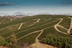 Christmas Tree Farm in Western North Carolina Royalty Free Stock Photo