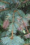 Christmas tree fir-tree concept. branches stock photo