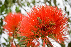 Christmas tree flower. Pohutakawa tree.They call it Christmas tree, since in New Zealand that tree starts blooming like that around Christmas time Royalty Free Stock Images