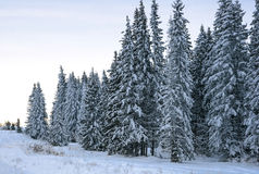 Christmas tree a fluffy snow. Slender spruce in snow decoration Royalty Free Stock Photos