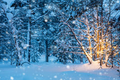 Christmas tree with garland lights and snow in winter forest Royalty Free Stock Images