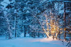 Christmas tree with garland lights in snowy winter forest. Christmas tree with warm garland lights in snowy winter forest, nobody. Real northern winter landscape Stock Photo