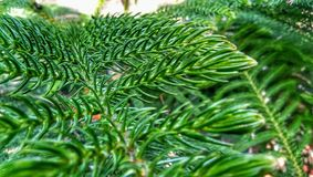 The Christmas tree with green Leaves in the garden royalty free stock photo