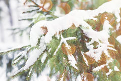 Christmas tree. Green pine with white snow in the winter Stock Photography
