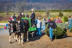 Christmas Tree Harvest Royalty Free Stock Photography