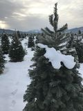 Christmas tree hunting royalty free stock photos
