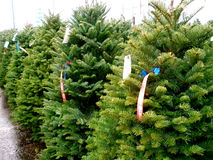 Christmas Tree Lot Stock Image