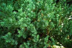 Christmas tree pine background stock photos