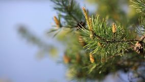 Christmas tree, Pine tree branch , Close up of conifer cone blowing in wind. Close - up of young spruce branches stock footage