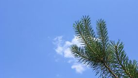 Christmas tree. Pine branch on sky background stock footage