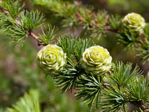 Christmas tree pine cones on branch with leaves Royalty Free Stock Photo