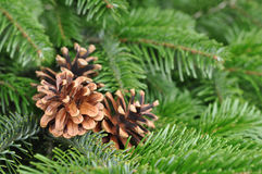Christmas Tree. Pine tree or Fir Tree with Cones Royalty Free Stock Images