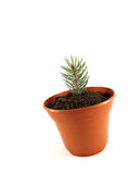 Christmas tree plant. In the pot Royalty Free Stock Images