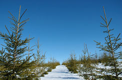 Christmas tree plantation Stock Image