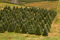 Christmas tree plantation Royalty Free Stock Images