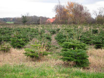 Christmas tree plantation. Royalty Free Stock Photography