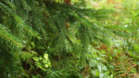 Christmas tree in the rain. Forest tree in the rain in the early autumn stock footage