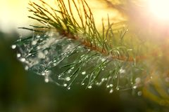 Christmas tree with raindrops and spider web can be used as back Royalty Free Stock Image