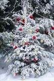 Christmas tree with decoration in winter season. Christmas tree : Red and Gold ball hanging on Christmas tree with Snow in winter season. Natural with snow in Royalty Free Stock Images