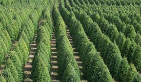 Christmas Tree Rows. An organic pattern of Christmas trees form an pleasing design Stock Photo