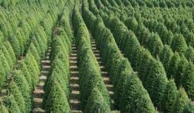 Christmas Tree Rows Stock Photo