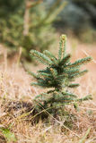 Christmas tree Sapling Stock Images