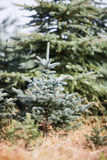 Christmas tree Sapling Royalty Free Stock Photo