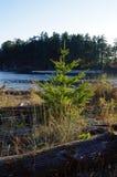 Young Douglas Fir tree grows between weathered logs on a beach. A Christmas tree sized Douglas Fir grows between weathered driftwood logs on the Shell Beach stock photos