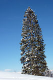 Christmas tree with snow Royalty Free Stock Photography
