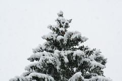 Christmas tree in snow coat and own balls winter fairy tale. The fir tree was covered with snow as if dressed in a white coat, and decorated itself with natural Royalty Free Stock Photography