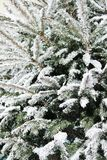 Christmas tree with snow Royalty Free Stock Images