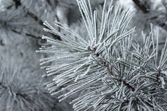 Christmas Tree In The Snow Royalty Free Stock Image
