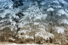 Christmas tree in the snow Stock Photo