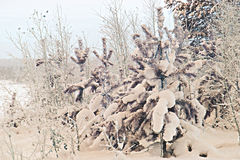 Christmas tree in the snow. Winter forest at sunset, sunrise Royalty Free Stock Photography