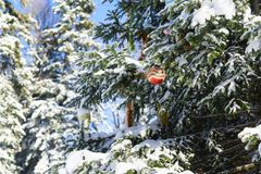 Christmas tree toy ball hanging on snowy branch in the forest. Lat. Abies. Sunny winter day Stock Photography