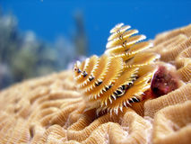 Christmas Tree Tube Worms Royalty Free Stock Photo